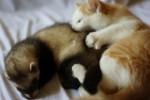 Коты против хорьков :)