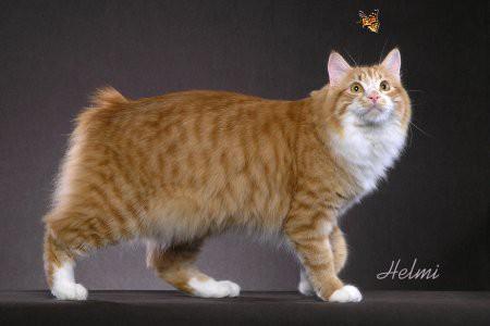 Описание пород кошек - Кимрик (Cymric): http://koteika.ru/u4/articles/kimrik_cymric.html