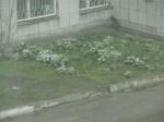 13 мая 2013 мальвочки в снегу